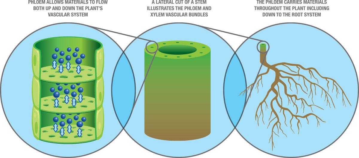 Oro Agri adjuvants with TransPhloemTM technology